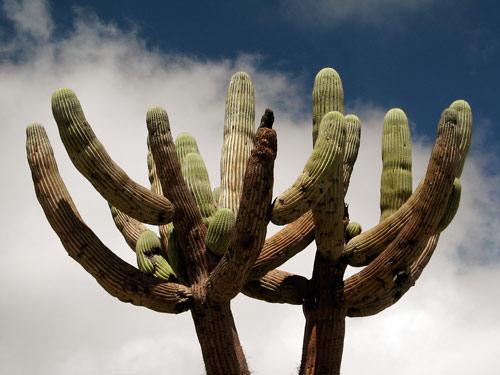 Hiiglaslik kaktus vastu taevas