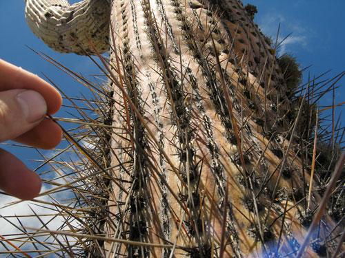 Kaktus lähemalt