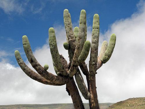 Kaktus (2)
