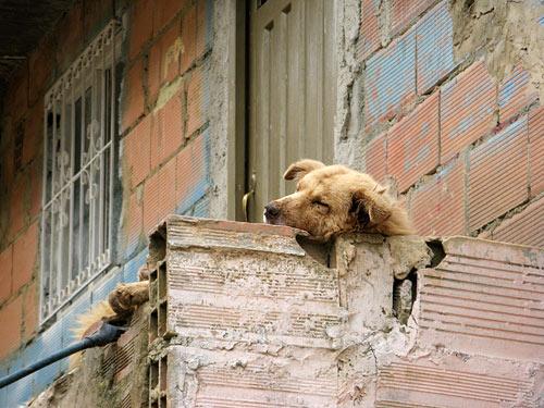 Uinuv koer