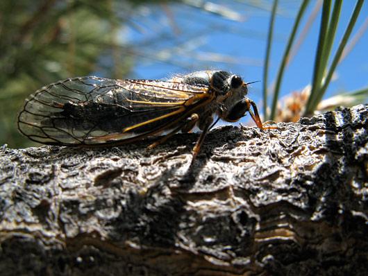 Kui ei eksi, siis see putukas tegi sellist imelikku toksivat häält põõsastes