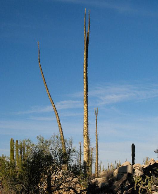 Baja ulmepuud