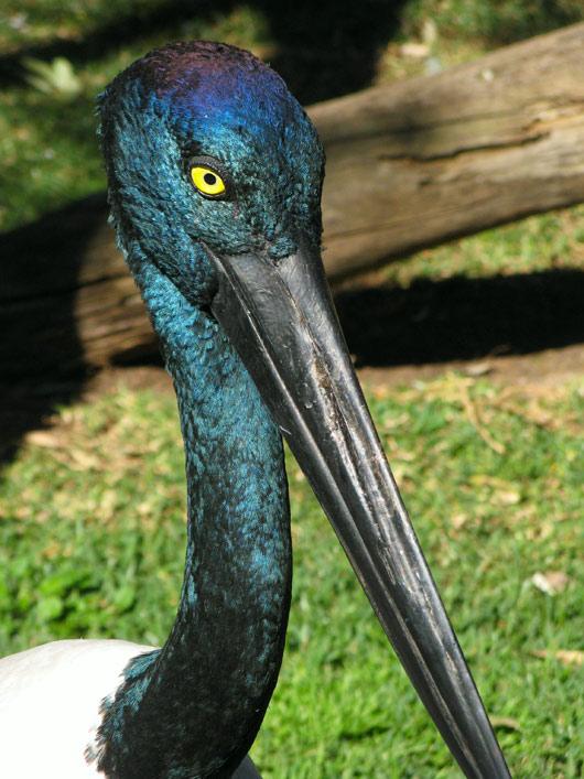 Üks suuremat sorti lind kellel pole häälepaelu - nokaga klõpsimine on abiks