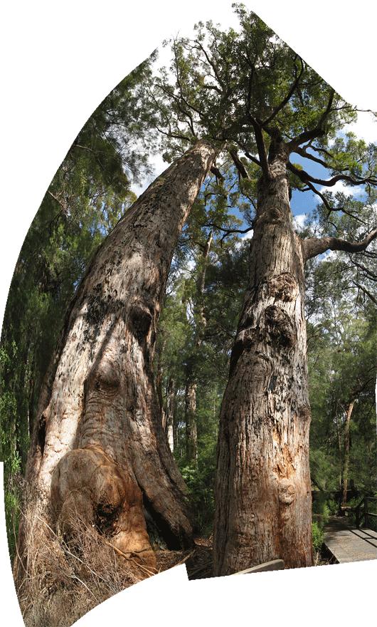 Vanad sihvakad puud