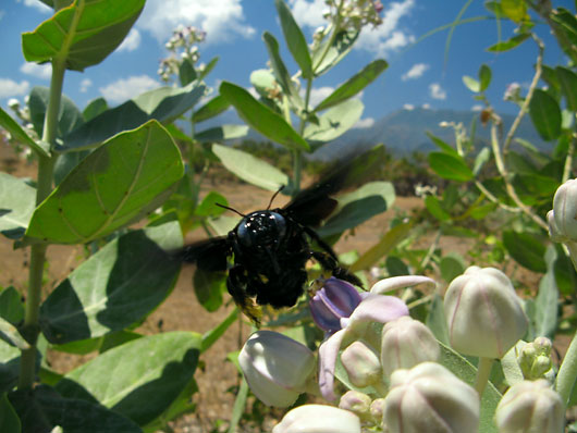 Must mesilane - nagu tont
