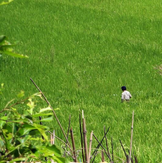 Riisipõllul askeldamas