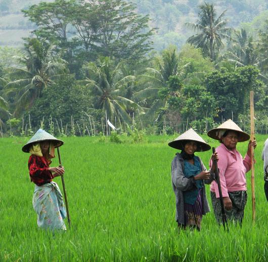 Riisipõllutöölised kiikamas (1)
