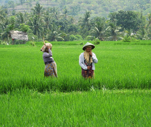 Riisipõllutöölised kiikamas (2)