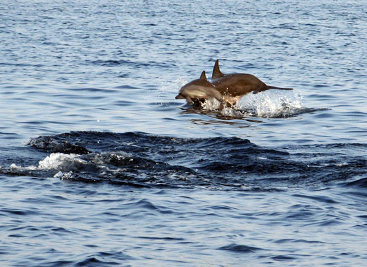 Delfiinid hüppes