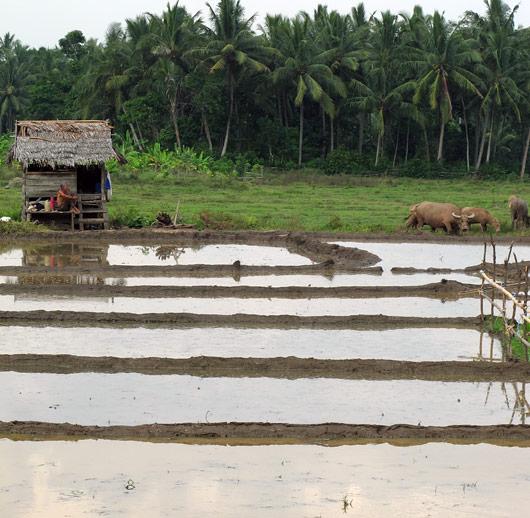 Riisipõllud ja elamine nende ääres - ilmselt hooajati