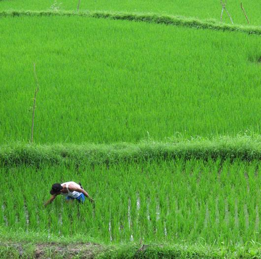 Riisipõllul