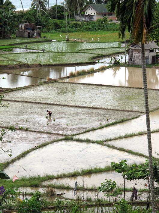 Riisipõllu muster