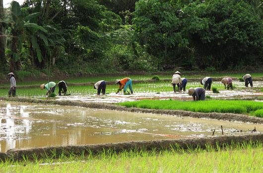 Riisipõllul tööd rabamas