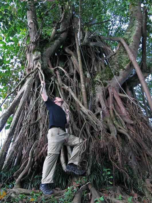 Piiiikad juured pargis oleval puul - pole ime, et siin ahvidele meeldib