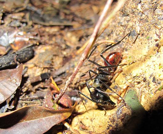 Suur sipelgas džunglis