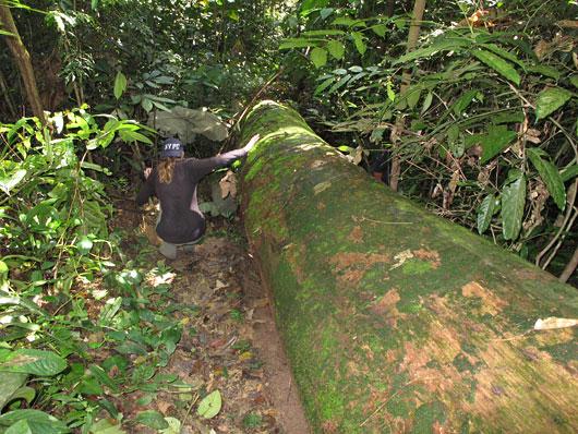 Ronimine džunglis - üle ja alt langenud puudest