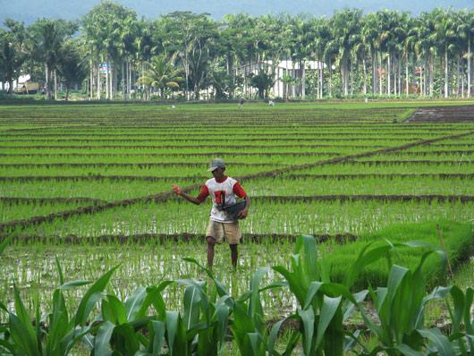 Mees riisipõllul askeldamas