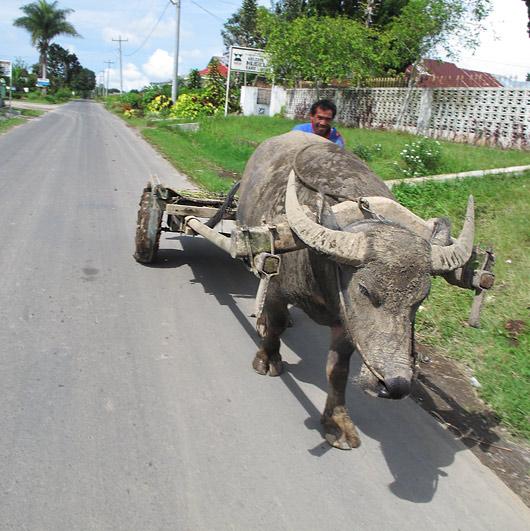 Karo bataki mees härjaga transporteerumas