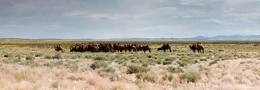 Kaamleid on Mongoolias palju